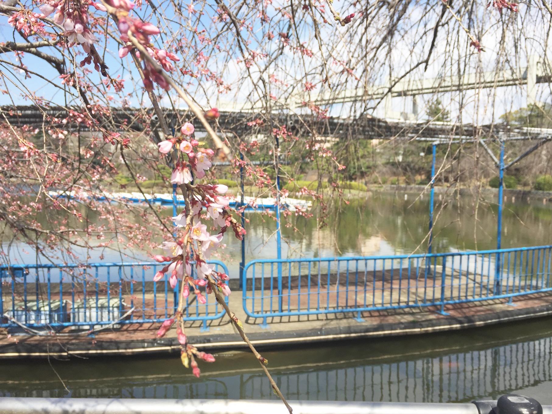 千葉 千葉公園 桜